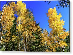 Arizona Aspens In Fall 1 Acrylic Print