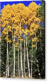 Arizona Aspens In Fall 3 Acrylic Print