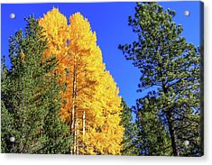 Arizona Aspens In Fall 4 Acrylic Print