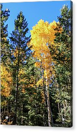 Arizona Aspens In Fall 5 Acrylic Print