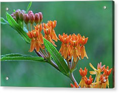 Acrylic Print featuring the photograph Asclepias Tuberosa by Dale Kincaid
