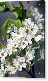 Asian Pear In Bloom Acrylic Print by Maria Mosolova