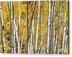 Aspen Autumn Acrylic Print
