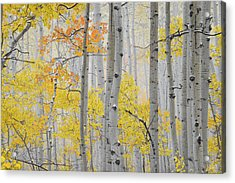 Aspen Forest Texture Acrylic Print by Leland D Howard