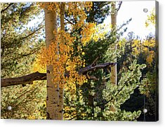 Aspen Tree Close Acrylic Print