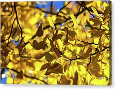 Aspens Up Close Acrylic Print