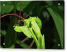 Assassin Bug Acrylic Print