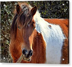 Acrylic Print featuring the photograph Assateague Pinto Mare Ms Macky by Bill Swartwout Fine Art Photography