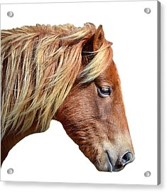 Acrylic Print featuring the photograph Assateague Pony Sarah's Sweet On White by Bill Swartwout Fine Art Photography