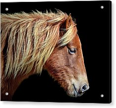 Acrylic Print featuring the photograph Assateague Pony Sarah's Sweet Tea Portrait On Black by Bill Swartwout Fine Art Photography