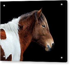 Acrylic Print featuring the photograph Assateague Pony Susi Sole Portrait On Black by Bill Swartwout Fine Art Photography