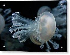 At The Monterey Bay Aquarium Jellyfish Acrylic Print by John Krzesinski (images By John 'k')