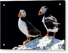 Atlantic Puffins, Farne Islands Nature Acrylic Print
