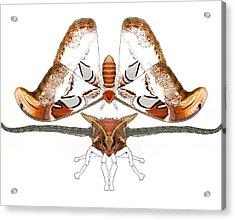 Atlas Moth2 Acrylic Print