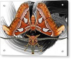 Atlas Moth8 Acrylic Print