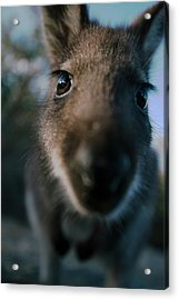 Australian Bush Wallaby Outside During The Day. Acrylic Print
