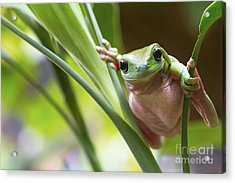 Australian Green Tree Frog On A Leaf Acrylic Print by Andrew Lam