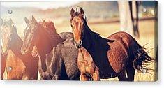 Australian Horses In The Paddock Acrylic Print