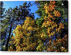 Autumn In Apache Sitgreaves National Forest, Arizona Acrylic Print