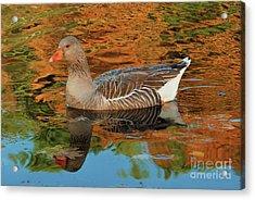 Autumn Swim Acrylic Print