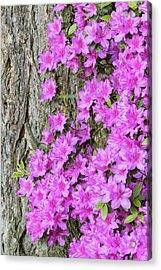 Azalea Blooms Acrylic Print by William Sutton