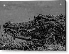 B And W Gator Acrylic Print