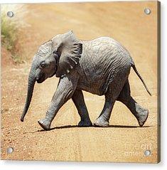 Baby African Elephant Acrylic Print