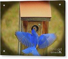 Baby Bluebird Feeding Time Acrylic Print