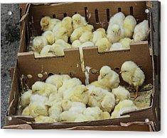 Baby Chicks  Acrylic Print