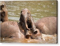 Acrylic Print featuring the photograph Baby Elephant by Nicole Young