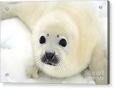 Baby Harp Seal Pup On Ice Of The White Acrylic Print by Vladimir Melnik