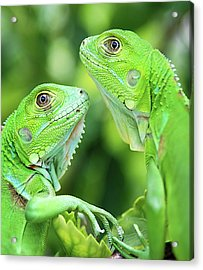 Baby Iguanas Acrylic Print