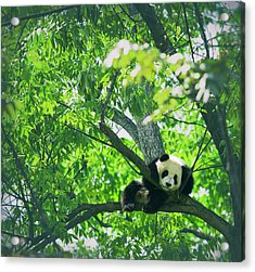 Baby Panda Resting On A Tree Acrylic Print by Mediaproduction