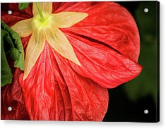 Back Of Red Flower Acrylic Print