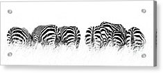 Back View Of Zebras In A Row  Horizontal Banner Acrylic Print