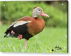Balancing Black Bellied Whistling Duck Acrylic Print