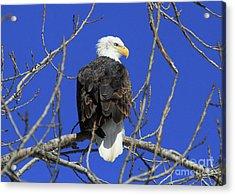 Bald Eagle And Blue Sky Acrylic Print