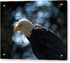 Bald Eagle Grandfather Mountain Acrylic Print