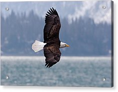 Bald Eagle In Action Acrylic Print by Mark Miller Photos