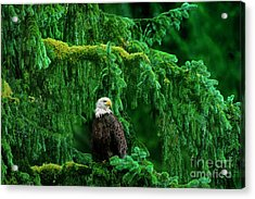 Bald Eagle In Temperate Rainforest Alaska Endangered Species Acrylic Print
