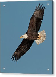 Bald Eagle Acrylic Print by Straublund Photography