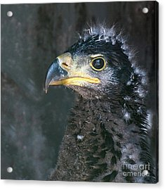 Bald Eaglet Acrylic Print