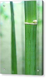 Bamboo 0312 Acrylic Print