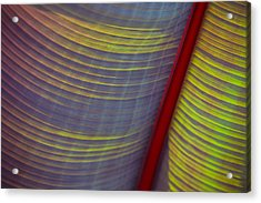 Banana Leaf 8597 Acrylic Print