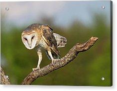 Barn Owl 5151801 Acrylic Print
