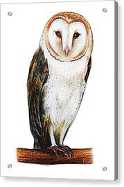 Barn Owl Drawing Tyto Alba Acrylic Print