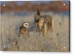 Barn Owls 9 Acrylic Print