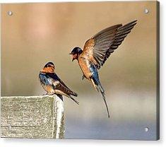 Barn Swallow Conversation Acrylic Print