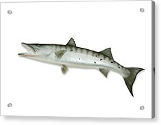 Barracuda With Clipping Path Acrylic Print by Georgepeters