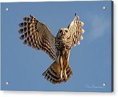 Barred Owl In Flight 0130 Acrylic Print